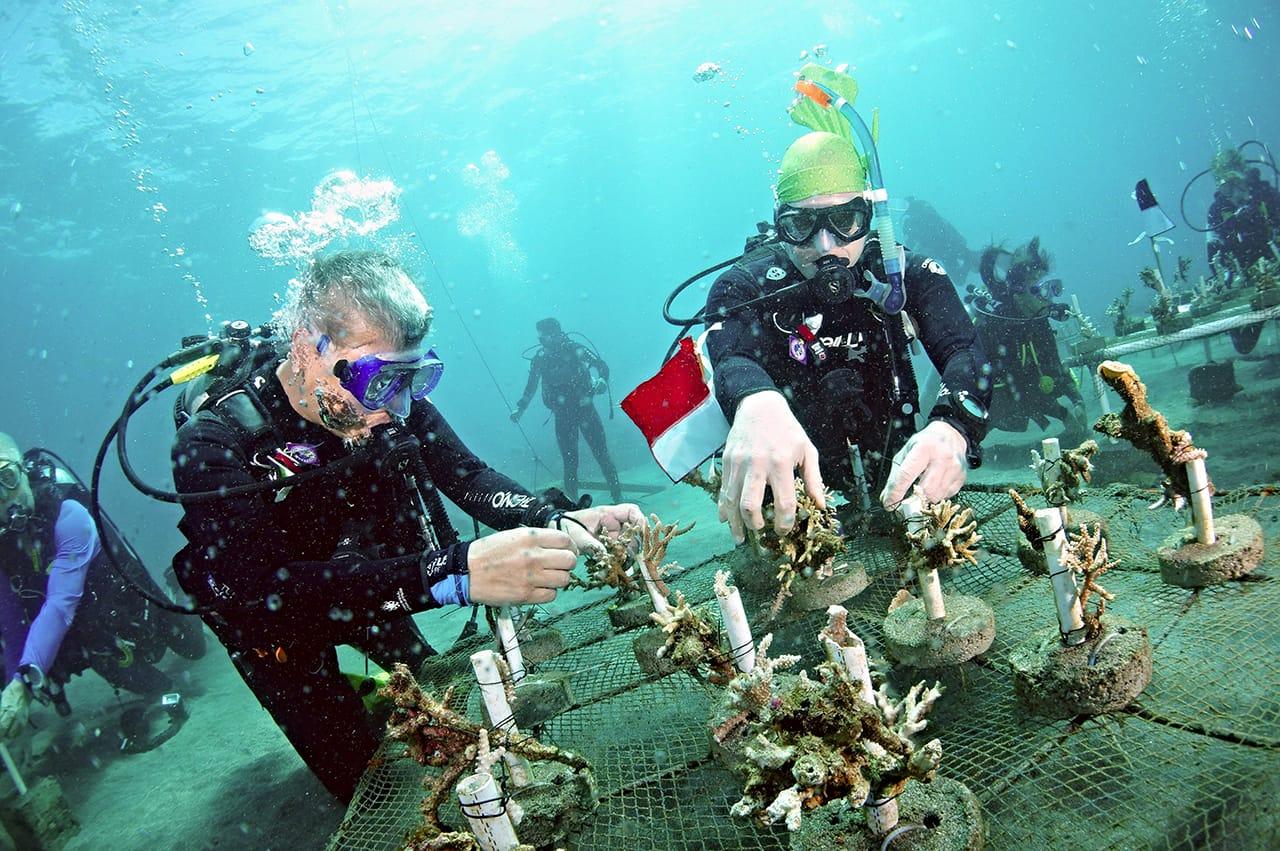 Divers placing coral at Boboca