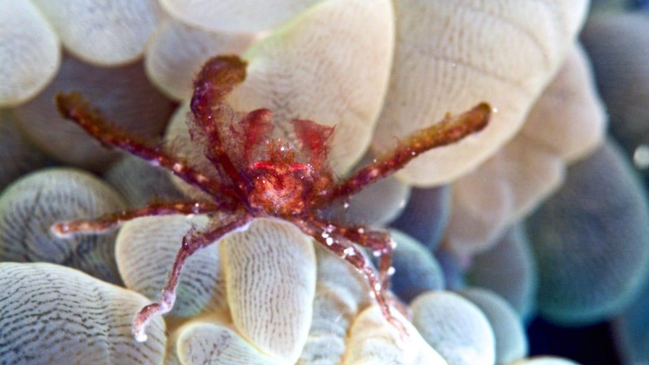 orang-utang-crab