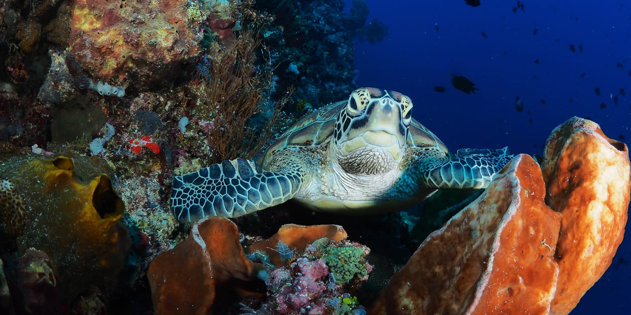 Turtle resting on coral