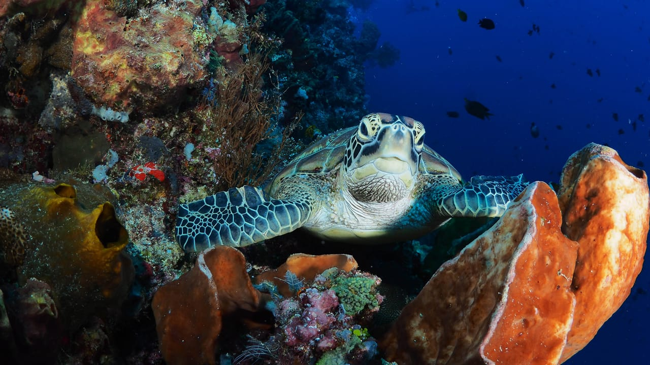turtle-on-reef2