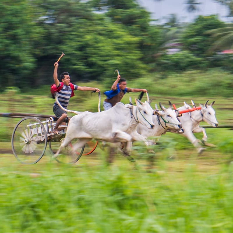 Cow races in North Sulawesi