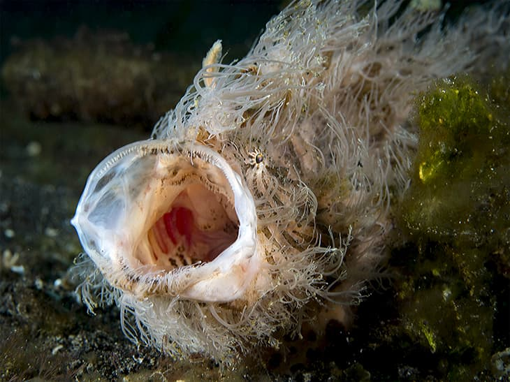 Hairy Frogfish at Lembeh Strait