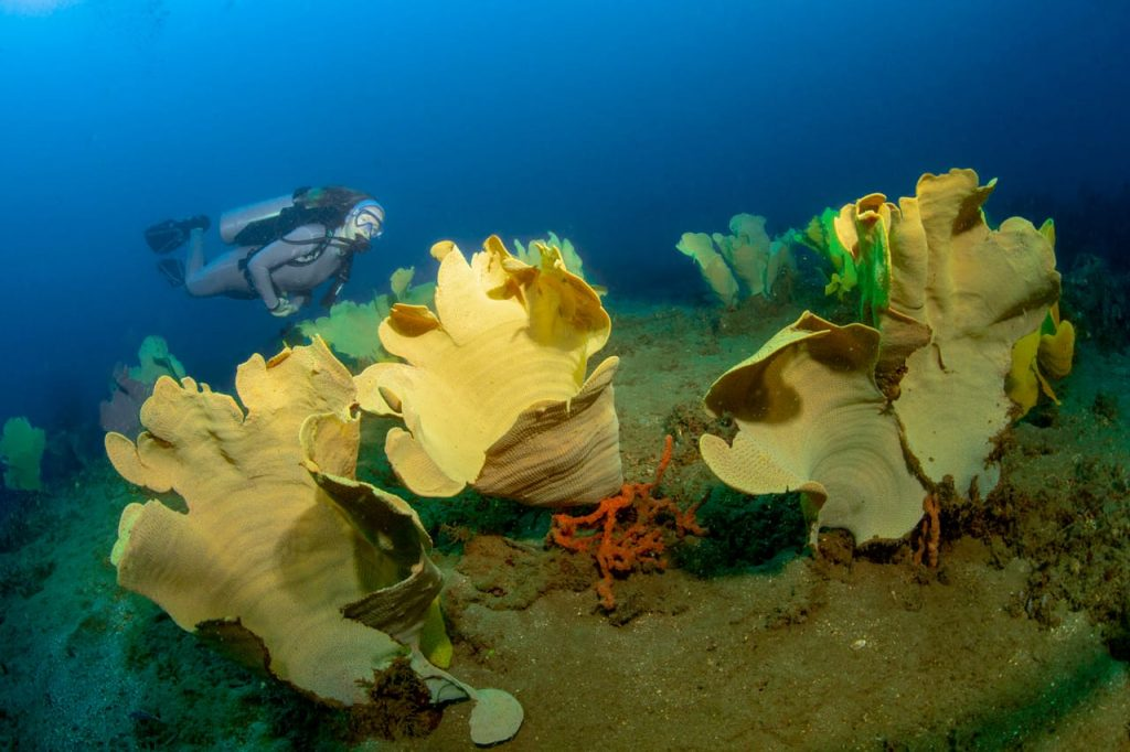 Diver admiring the yellow sponges