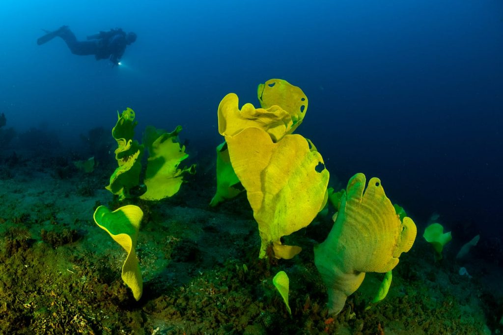 Diving with flashlight above yellow sponges