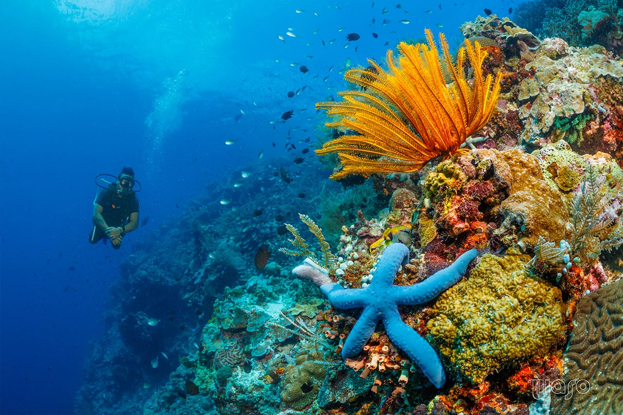 Diving in North Sulawesi — Starfish on a bed of coral with a diver in the background