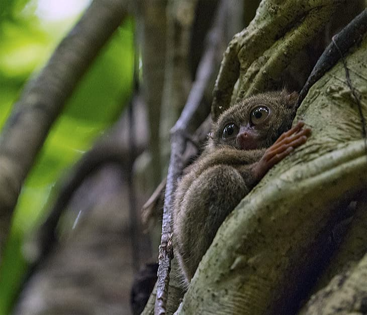 A Tarsier in a tree looking around